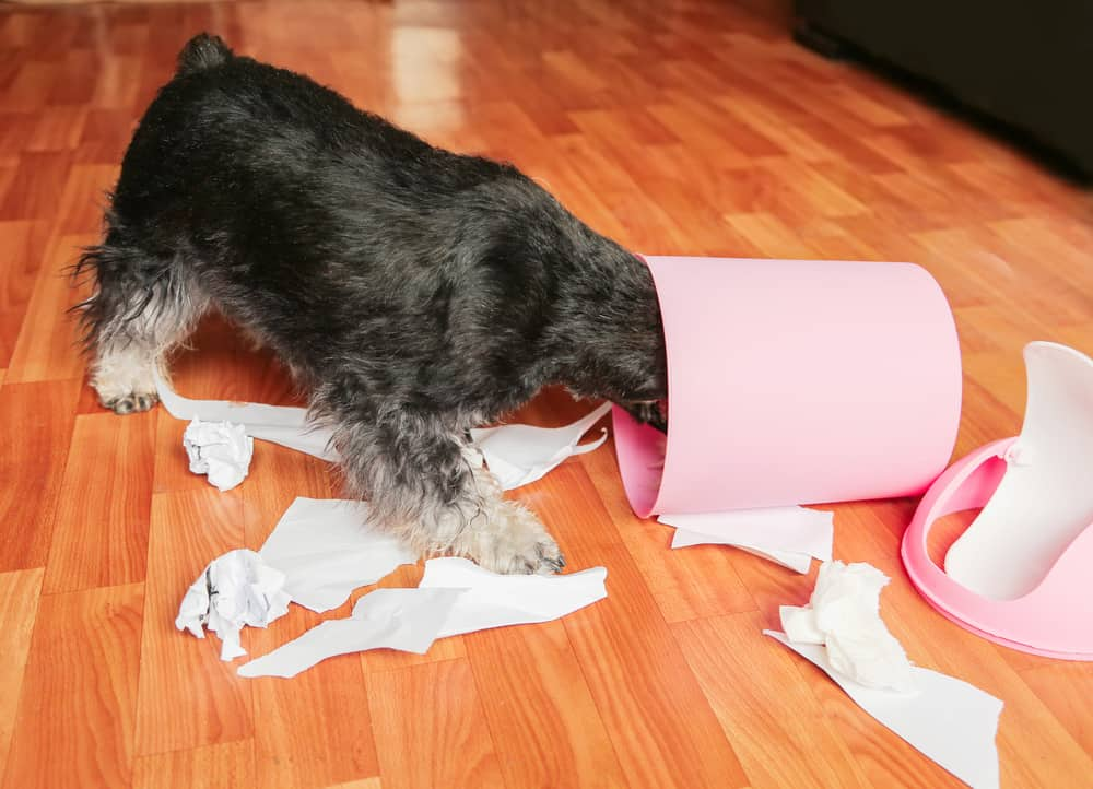 Naughty bad schnauzer puppy dog with papers from garbage basket. The lies among the torn paper with head in trash can. Mischief dog at home. dog proof trash can