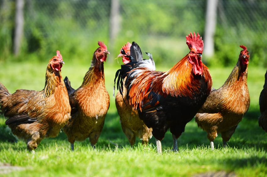 Renegade Rooster Named Slick Evades Capture For 4 Months, Finally Apprehended