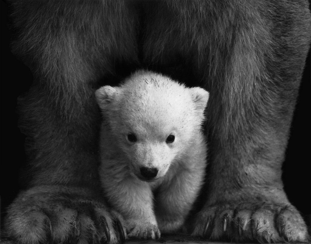 Polar bears are neat creatures. They're also a dwindling species that we don't interact with much. Why? Mostly because they keep to themselves and sequester their lives to the remote reaches of some of the most frigid parts of the planet. More like polar brr. But, they're on the move now.